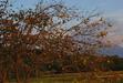 111016 柿と大山と・・.jpg