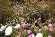 111016 白い花とピンクの秋桜.jpg