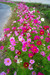 111021秋桜が続く小道.jpg