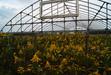 111024 黄色い草に覆われたハウス.jpg