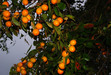 111025 壺瓶山の柿.jpg