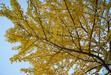 111116 イチョウの黄葉.jpg