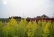 111117 黄色いセイタカアワダチソウと橋.jpg