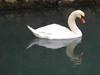 111225 淀江の白鳥.jpg