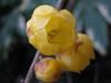 120122 黄色い黄梅.jpg