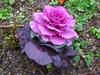 120318 紫色のキャベツみたいなやつ.jpg