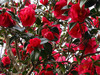 120324 鮮やかな紅い花.jpg