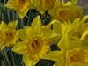 120329 黄色い花.jpg