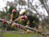 120330 桜のつぼみ.jpg