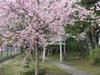 120415 三輪神社のしだれ桜と参道.jpg