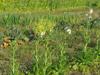 120417 花だらけの野菜畑.jpg