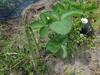 120421 アスパラと苺の苗.jpg