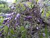 120425 庭先の藤の花.jpg