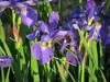 120518 紫の花と蜜蜂.jpg