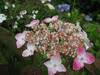 120608 大神山神社本社の紫陽花.jpg