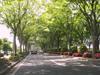 120609 431号線 ケヤキ並木.jpg