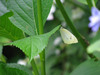 120615 アジサイの葉に蝶々.jpg