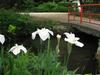 120619 白い花と赤い橋.jpg