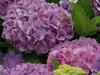 120627 紫のアジサイ.jpg