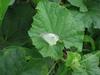 120706 メロンの葉とチョウチョ.jpg