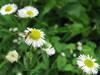 120714 小さな花に小さな蜂.jpg