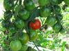120715 一つだけ赤いミニトマト.jpg