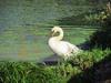 120830 緑の中のコブ白鳥.jpg