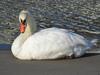 120902 淀江の白鳥.jpg