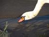 120902 コブ白鳥の水飲み.jpg