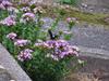 120914 路地横の花に疲れたアゲハ.jpg