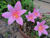 120917 ピンク色の花.jpg