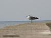 120921 防波堤のカモメ.jpg