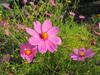 121018 コスモスの花.jpg