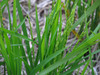 121031 冬に実る稲.jpg
