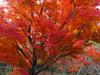 121111 楓の紅葉.jpg