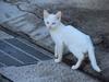 121115 青い目の白い猫.jpg