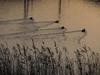 121222 夕暮れ時の野鳥.jpg