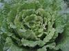 130113 巻かない白菜.jpg