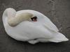 130118 白鳥の寝姿.jpg