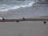 130130 海岸の鴨.jpg