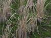 130213 冬の稲.jpg