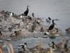 130219 佐陀川の野鳥.jpg