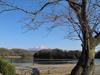 130312 岡成池のサクラの木.jpg