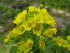 130317 白菜の菜の花.jpg