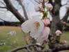 130322 公園の桜.jpg
