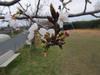 130322 桜の蕾.jpg