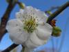 130327 梅の花.jpg