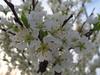 130328 何か判らない木の花.jpg