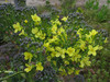 130329 ブロッコリーの花.jpg