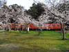 130401 桜と真っ赤な普通列車.jpg